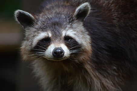 closeup photo of raccoon
