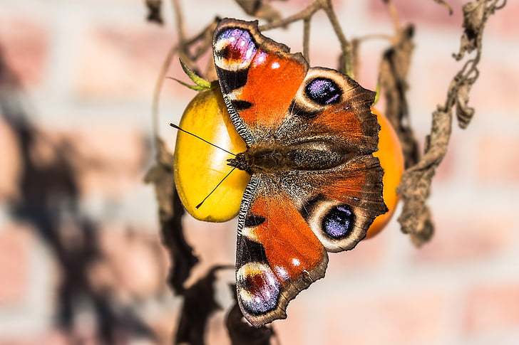 peacock butterfly on round orange fruit