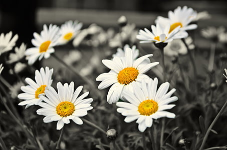 selective color photography of white daisy flowers