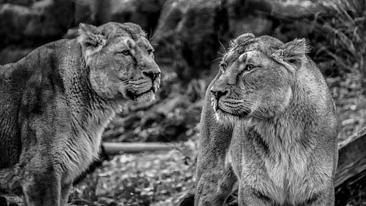 two feline animal grayscale photo