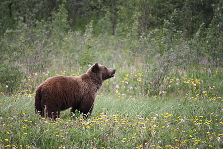 brown bear on grass photograph