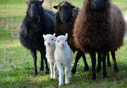assorted-color sheeps