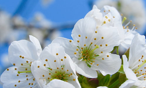 close up photography of white cherry blossoms