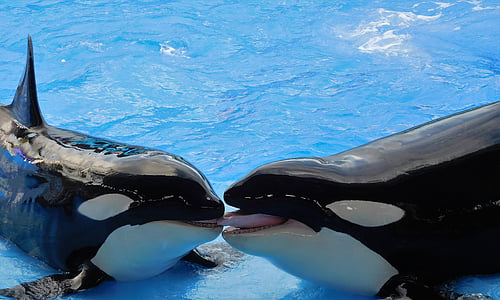 two black-and-white orcas on top of water