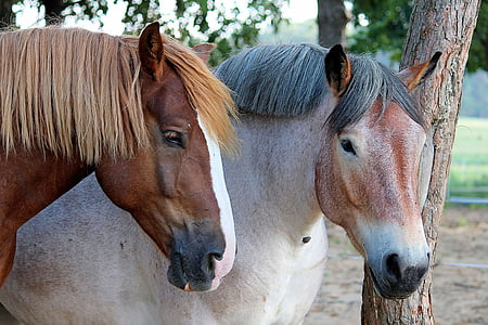 selective focus photography of two brown and white horses at daytime