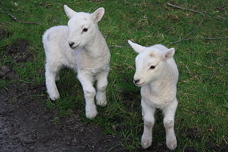 two white lambs