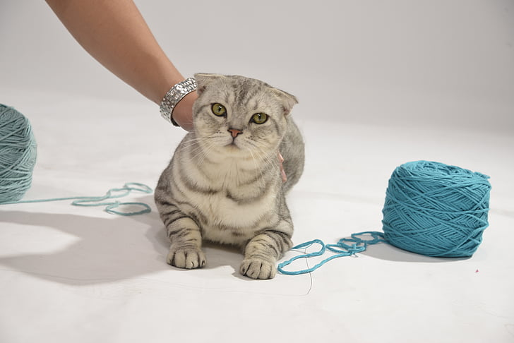gray Classic tabby cat held at the back by a person in between yarn spools