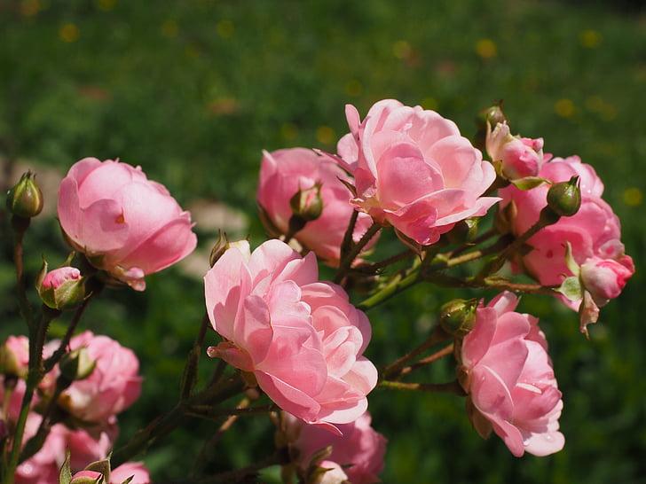 closeup photo of pink rose flowers