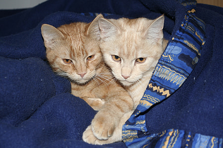 two orange tabby cats with blue textile