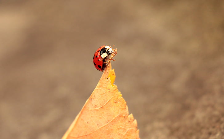 selective focus photography of ladybug perched on dried brown leaf