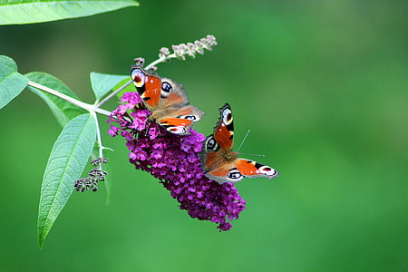 selective focus photography of two butterflies on purple cluster flower at daytime