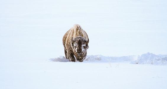 brown bison walking on snow