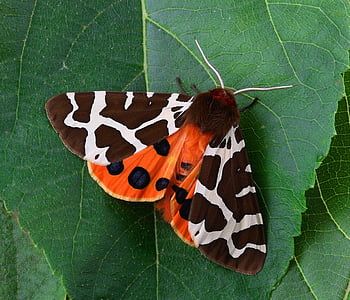 Tiger Moth on green leaf