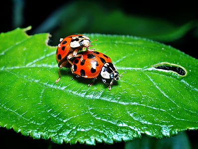 closeup photo of two ladybugs perch on ovate leaf