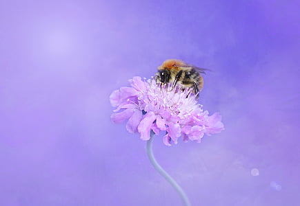honeybee pollinating on purple petaled flower