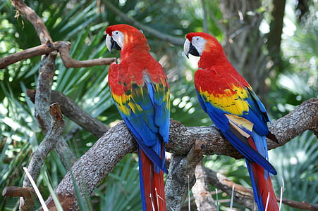 red-yellow-and-blue parrots on brown tree branch