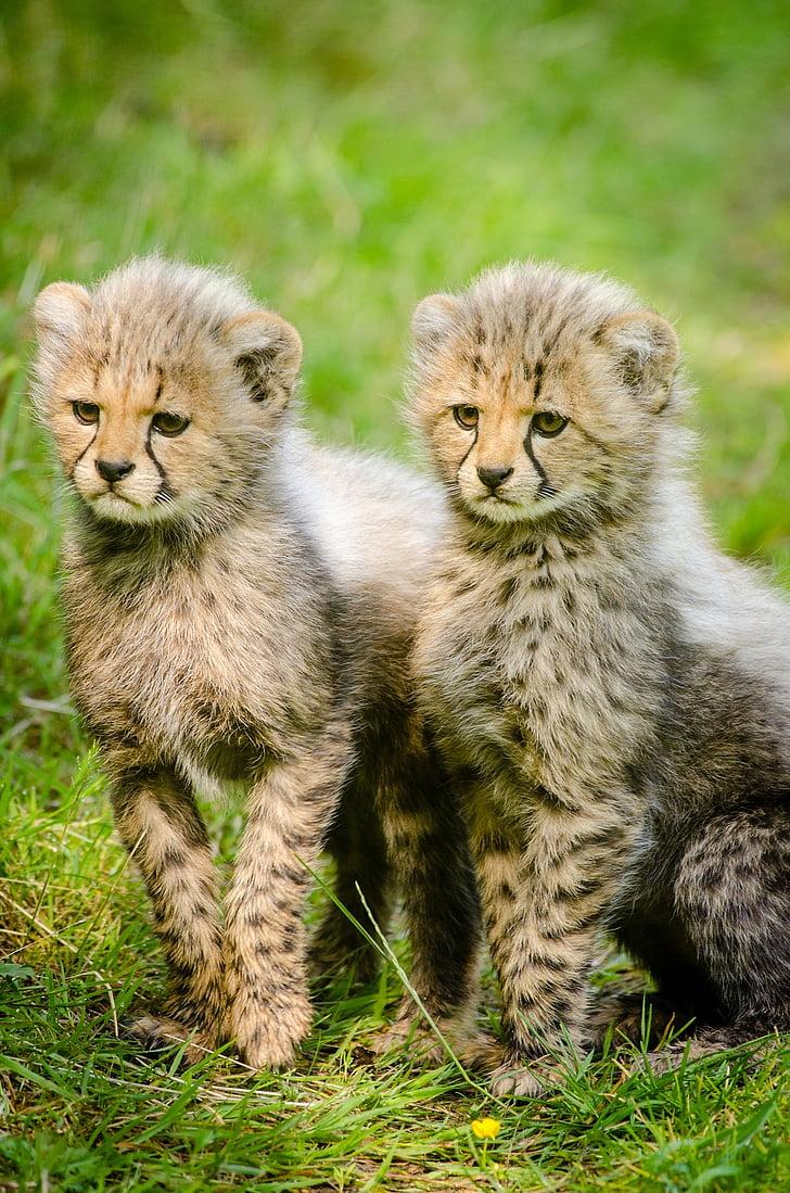two baby cheetahs