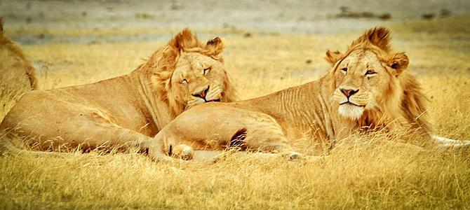 tanzania, serengeti national park, safari, serengeti, animals, lions