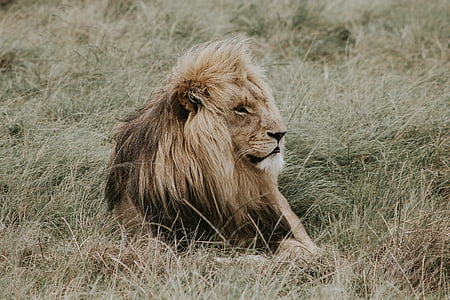 photo of lion lying on grass