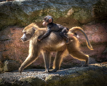 photography of female monkey carrying her baby