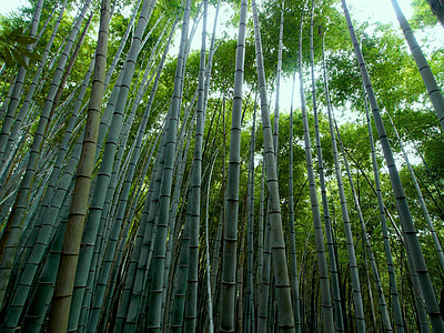 green Chinese bamboos