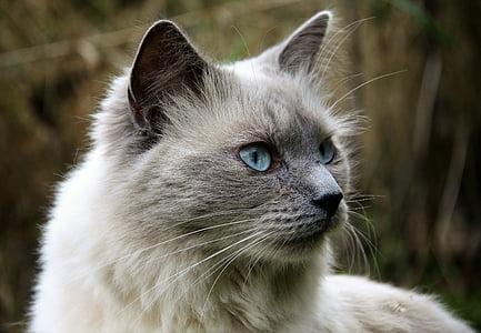 selective focus photography of Himalayan cat