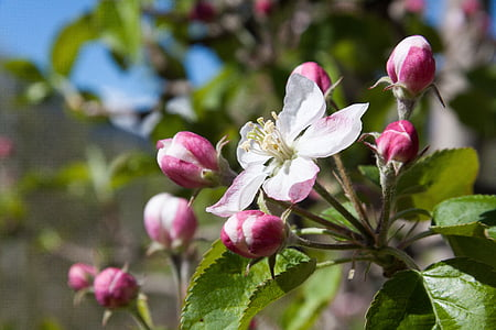 macro shot photography of white-and-pink Apple blossoms