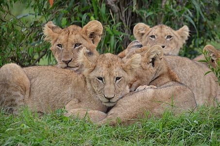beige lioness during daytime