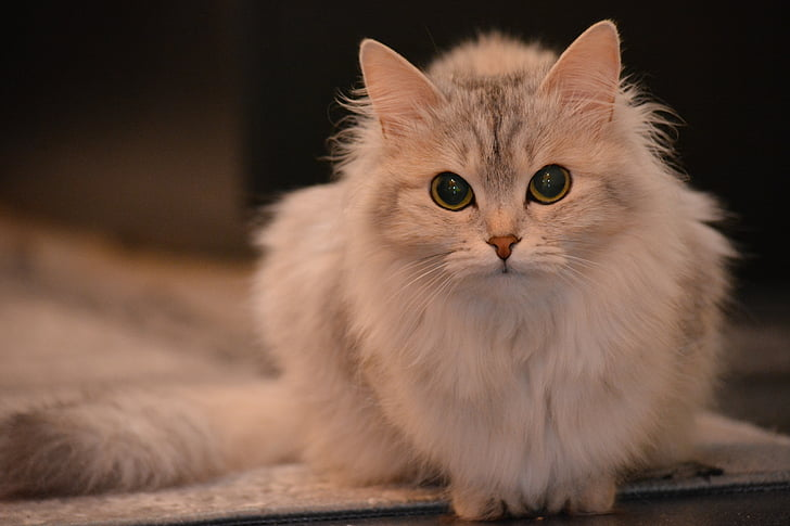 long-fur cat looking straight to the camera