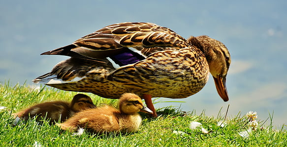 brown duck and ducklings on grass during daytime