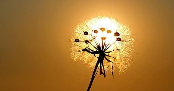 white dandelion at golden hour
