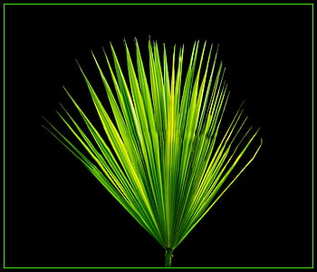 green fan palm leaf
