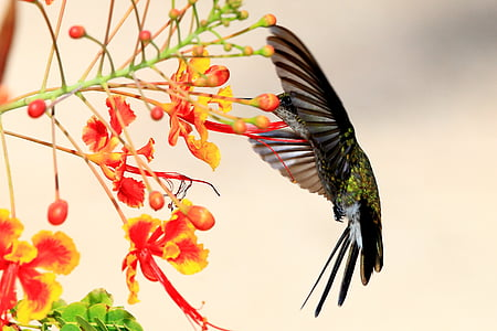 black and green hummingbird flying beside a red and yellow peacock flower