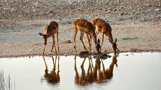 three brown deers drinking water on calm body of water