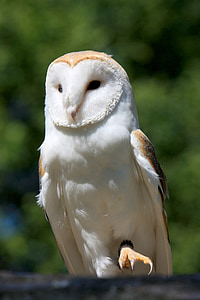 white and beige owl
