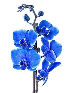 blue moth orchid flower