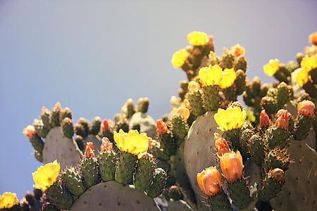 blossoming green prickly pear cacti