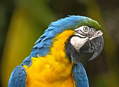 focus photo of blue-throated macaw