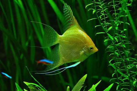 underwater photography of yellow angelfish