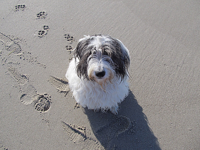 adult black and white bearded collie sits on sand at daytime