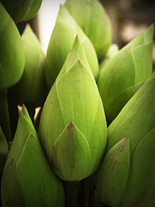 green lotus flower bud selective focus photography